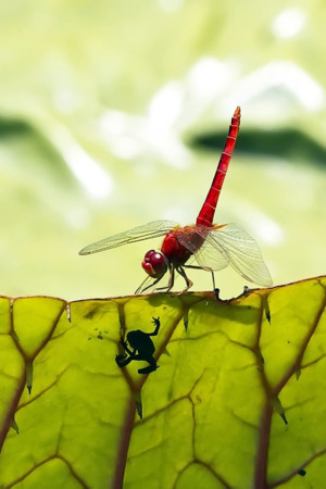 Red Dragonfly IPhone Wallpaper Mobile Wallpaper