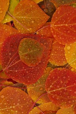 Wet Orange Leaves IPhone Wallpaper Mobile Wallpaper