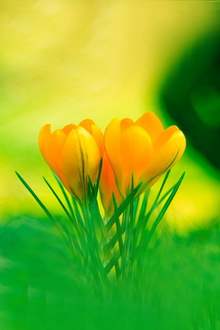 Yellow Crocus Together IPhone Wallpaper Mobile Wallpaper