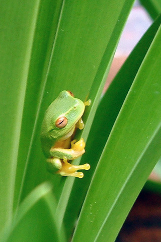 Frog On Green Leaves IPhone Wallpaper Mobile Wallpaper