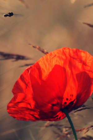 Lovely Red Poppy IPhone Wallpaper Mobile Wallpaper