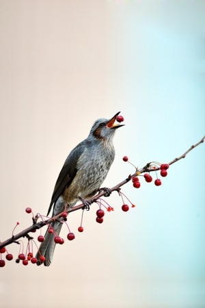 Bird Eat Berry IPhone Wallpaper Mobile Wallpaper