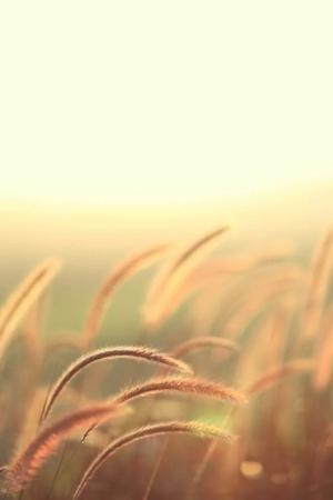 Grain Golden Field IPhone Wallpaper Mobile Wallpaper