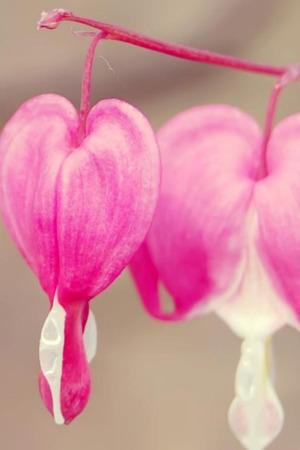 Pure Pink Petal Hearts IPhone Wallpaper Mobile Wallpaper