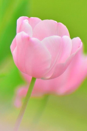 Pink Tulip Macro Mobile Wallpaper