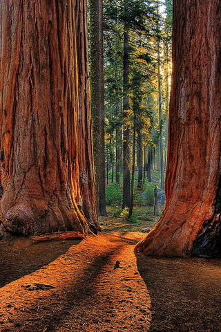 Sun Lights Sequoia Park California IPhone Wallpaper Mobile Wallpaper