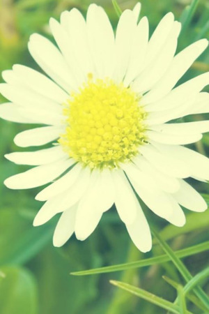 White Daisy Flowers IPhone Wallpaper Mobile Wallpaper