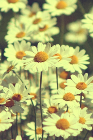 White Sunflower Vintage Daisies IPhone Wallpaper Mobile