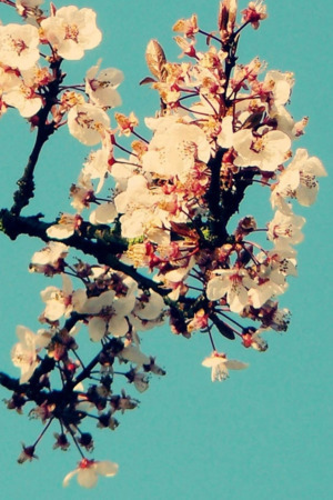 Cyan Sky Blossom IPhone Wallpaper Mobile Wallpaper