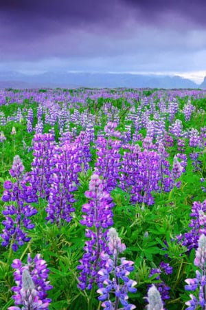 Lupine Bean Curd Field IPhone Wallpaper Mobile Wallpaper