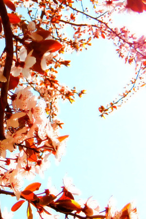 Cherry Blossoms Tree Garden  IPhone Wallpaper Mobile Wallpaper