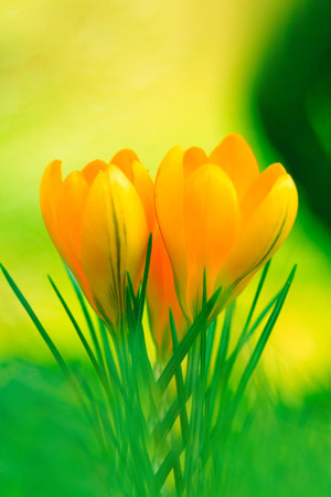 Yellow Crocus Flowers IPhone Wallpaper Mobile Wallpaper