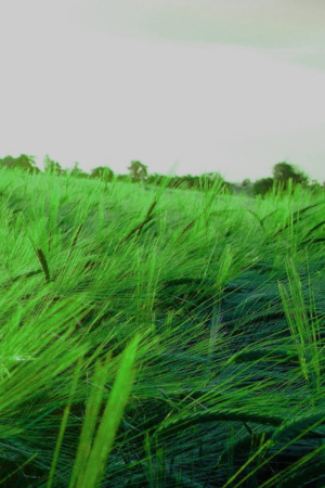 Green Wheet Field Nature IPhone Wallpaper Mobile Wallpaper