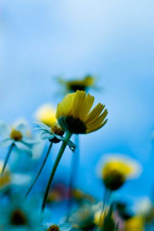 Natural Sunflower IPhone Wallpaper Mobile Wallpaper