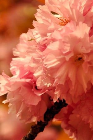 Pink Cherry Blossoms IPhone Wallpaper Mobile Wallpaper