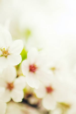 Blossom Cherry Nature Flower IPhone Wallpaper Mobile Wallpaper