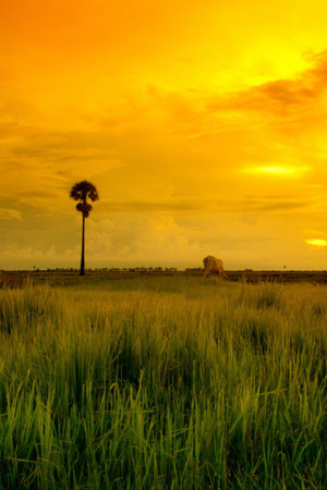 Beautiful Grass Field Yellow Sunset IPhone Wallpaper Mobile Wallpaper