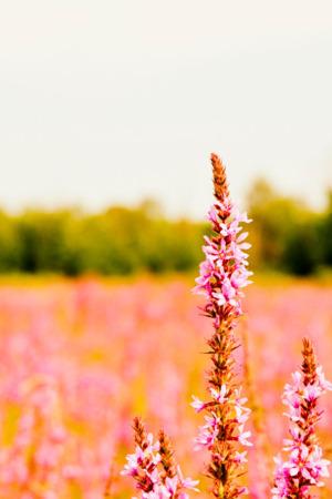 Pink Flower Field Nature IPhone Wallpaper Mobile Wallpaper