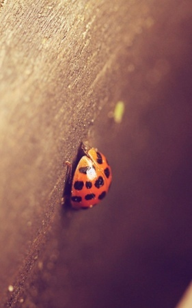 Lady Beetle IPhone Wallpaper Mobile Wallpaper