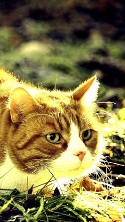 Cat On Grass Sunlights IPhone Wallpaper Mobile Wallpaper