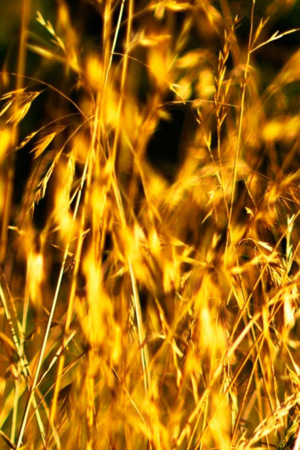 Grass Wheat Natural Field IPhone Wallpaper Mobile Wallpaper