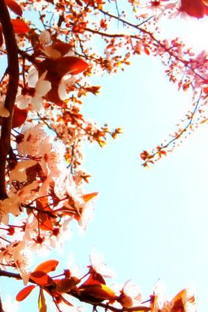 Flower Garden Cherry Blossoms IPhone Wallpaper Mobile Wallpaper