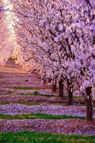 Pink Garden Trees Blossom IPhone Wallpaper Mobile Wallpaper