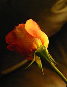 Hopelessly Romantic Rose Mobile Wallpaper