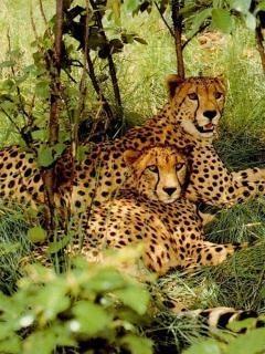 Leopards Mobile Wallpaper