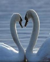 Swan_love Mobile Wallpaper