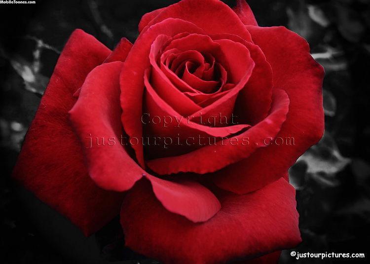 Lovely Rose Mobile Wallpaper