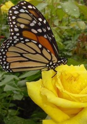 Yellow Flower With Butterfly Mobile Wallpaper