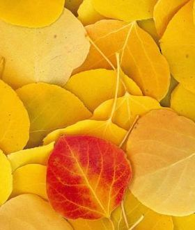 Aspen Leaves Eastern Sierra California Mobile Wallpaper