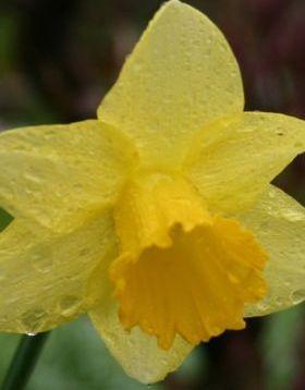 Daffodill Mobile Wallpaper