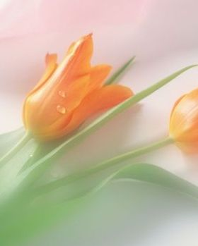 Orange Tulips Mobile Wallpaper