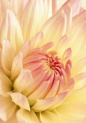 Pale Pink And Yellow Dahlia Mobile Wallpaper