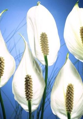 Pick Me Peace Lilies Mobile Wallpaper