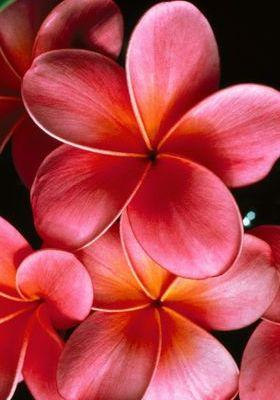 Pink Plumerias Mobile Wallpaper