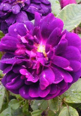 Purple Rose Centifolia Muscosa Mobile Wallpaper