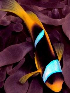 Clonefish Mobile Wallpaper
