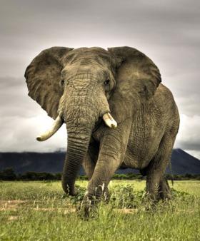 Elephant Mobile Wallpaper