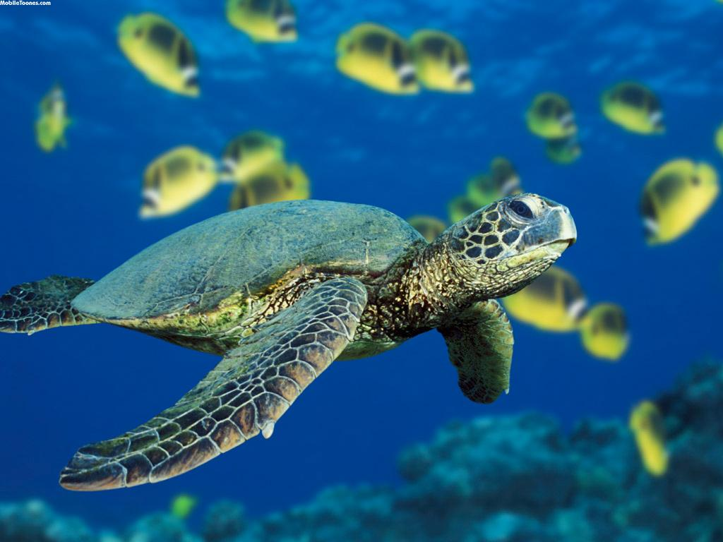 Turtle Mobile Wallpaper