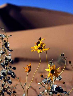 Desert Flowers Mobile Wallpaper