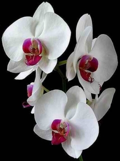 Orchid Mobile Wallpaper
