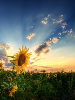 Beautiful Sunflower Wallpaper Mobile Wallpaper