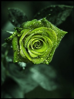 Green Rose Wallpaper Mobile Wallpaper