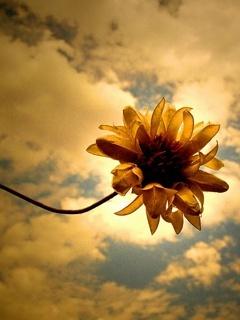 Sun Flower Mobile Wallpaper