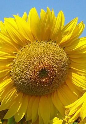 Nice Big Sunflower Mobile Wallpaper