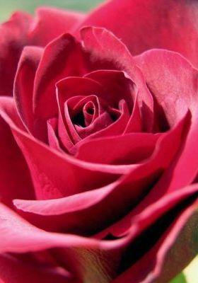 Darkpink Rose Mobile Wallpaper