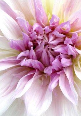 Purple Flower Closeup Mobile Wallpaper